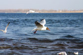 The seagull flies above the sea — Stock Photo