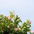 Background of dog-roses — Stock Photo