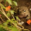 Toad — Stock Photo #22735431