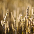 Wheat — Stock Photo #22795650