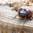 A beetle named rhinoceros (cervus) on the stub — 图库照片