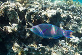 Parrotfish and corals in the sea — Stock Photo