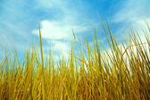 Зеленая трава и голубое небо — Стоковое фото