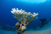 Coral in the sea — Stock Photo