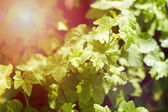 Currant leaves in spring with the sun — Stock Photo