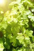 Carrant leaves and sunlight — Stock Photo