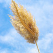 Stock Photo: Ripened ear of reed on blue sky