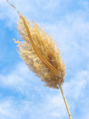 Ripened ear of reed on blue sky — Stock Photo