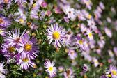 Violet chamomiles — Stock Photo