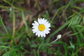A flower of chamomile — Foto de Stock