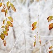 Frozen leaves under the frost — Stock Photo