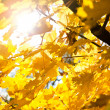 Sun and autumn leaves — Stock Photo
