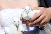 Zwei weiße tauben — Stockfoto