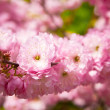 Stock Photo: The Oriental cherry blossoms