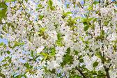 White flowers of apple-tree — Stock Photo
