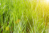 Beautiful grass in sunset — Stock Photo