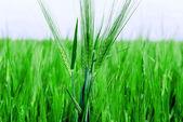 Pole pszenicy zielony — Zdjęcie stockowe