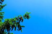 Rama de abeto — Foto de Stock