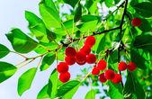 Cerezas en un árbol — Foto de Stock