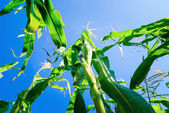 Campo de milho verde durante o verão — Foto Stock