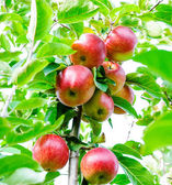 Apples on a branch — Stockfoto