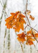 Frozen oak leaves — Stock Photo