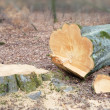 Stock Photo: Beech forest felled by logger