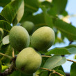 Green apricot on the tree — Stock Photo