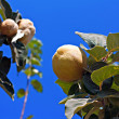 Stock fotografie: Quince ripening on tree against clear blue sky