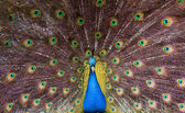 Colourful peacock — Stock Photo