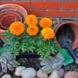 Transplanting Marigolds into pots — Stock Photo