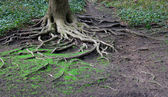 Twisted tree roots — Stock Photo