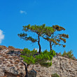 Pine tree growing on edge of mountain side — Стоковая фотография