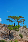 Pine tree growing on edge of mountain side — Stock Photo