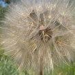 Close up dandelion in the breeze — Stock Video