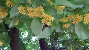 Close up linden tree with butterflies in the breeze — Stock Video