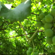 Stock Video: Vine canopy presentation