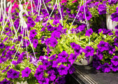 Colorful Impatiens Flowers in containers — Stock Photo