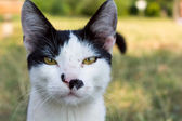 Close up portrait of a black and white cat — Stock Photo