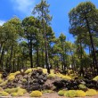 Tenerife forest landscape — Stock Photo