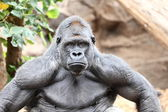 Gorilla - silverback gorilla — Stock Photo