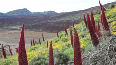 Teide. Tenerife Canary Islands flower landscape — Stock Video