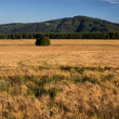 Cornfield with Mountain in background — Stock Photo