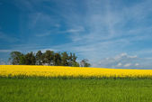 Blooming rapeseed field — Stock Photo