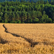 Stock Photo: Ruts in field with ripe grain
