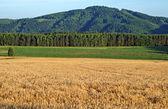 The field is ripe grain — Stock Photo