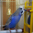 Young blue budgerigar is pecking beads in a cell — Stock Photo