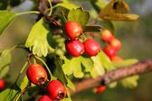 Red berries in the sun — Stock Photo
