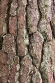 Pine tree crust texture — Stock Photo