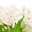 Alstroemeria flowers — Stock Photo #20879201